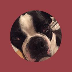 Home - Northeast Boston Terrier Rescue